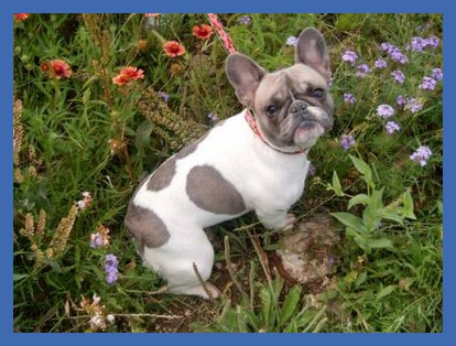 Blue pied french bulldog - elenor