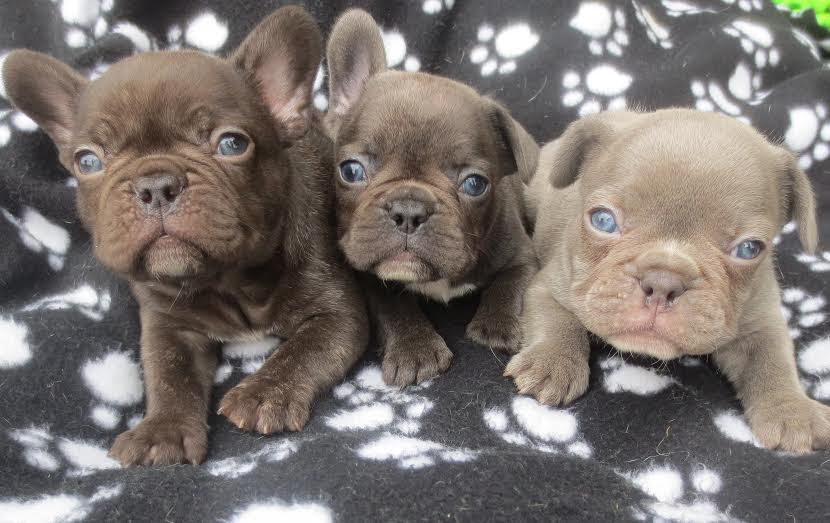 Chocolate, Blue, Lilac French Bulldog Puppies