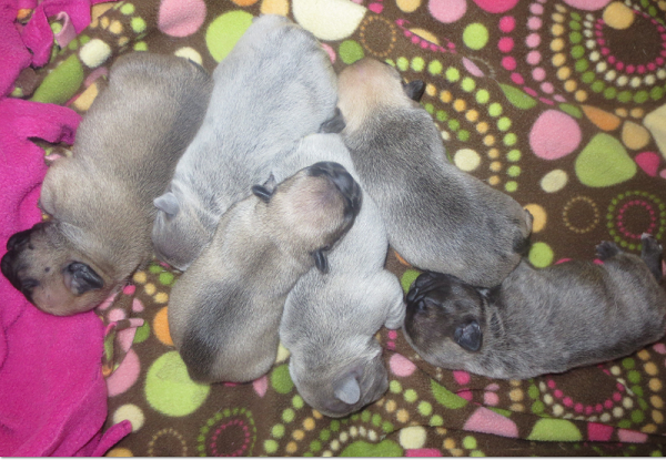 Pile of frenchie babies.