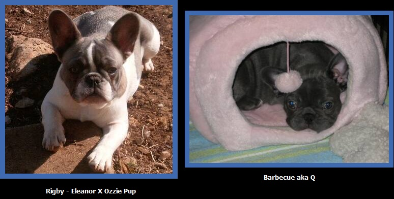 Blue Pied French Bulldogs
