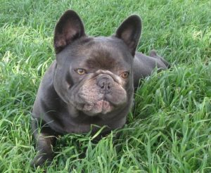 French Bulldog Puppies For Sale Silver Hammer Frenchies